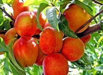 فروش باغ هلو و شلیل 12500 متری در پنبه چوله در شیپور-عکس کوچک