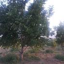 زمین کشاورزی در نزدیکی پل زمانخان سامان