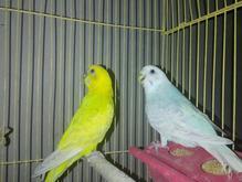 مرغ عشق نژاد البینو در شیپور