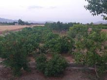 باغ انگور و بادام و زمین برای احداث ویلا در شیپور