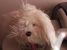 عروسک سگ پاه کوتاه در شیپور