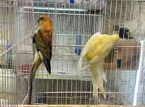 جفت طوطی آوازخوان آتیشی مولد در شیپور-عکس کوچک