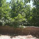 باغ قدیمی بالای 60 سال