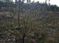 زمین مسکونی سربیژن جیرفت در شیپور-عکس کوچک