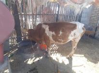 گاو قربانی جوان یک شکم زاییده در شیپور-عکس کوچک