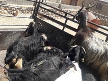 فروش دو جفت بز کهره دار(هشت تا)سالم و جوان،نژاد خو در شیپور