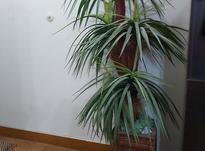 درخت نخل مصنوعی 5 شاخه تمیز و سالم با گلدان طرح هخامنشی در شیپور-عکس کوچک