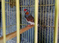 فنچ زبرا نر مست وزیبا معاوضه میشه مرغ عشق نر در شیپور-عکس کوچک
