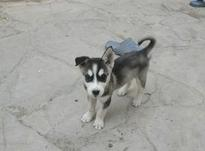 هاسکی دو ماهه در شیپور-عکس کوچک