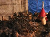 جوجه 10 روزه تا 2 ماهه قرقاول در شیپور-عکس کوچک