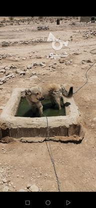 سگ نگهبان فوق العاده هار در گروه خرید و فروش ورزش فرهنگ فراغت در فارس در شیپور-عکس1