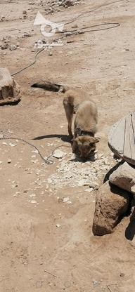 سگ نگهبان فوق العاده هار در گروه خرید و فروش ورزش فرهنگ فراغت در فارس در شیپور-عکس2