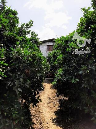 فروش 13000 منر مربع باغ مرکبات در گروه خرید و فروش املاک در مازندران در شیپور-عکس1