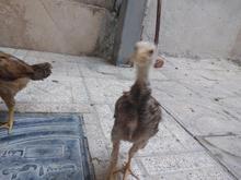 فروش جوجه لاری در شیپور