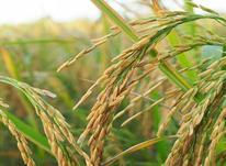 فروش زمین کشاورزی 5000 متر  در شیپور-عکس کوچک