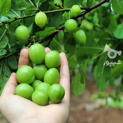 فروش زمین باغ260 متر  در گروه خرید و فروش املاک در مازندران در شیپور-عکس4