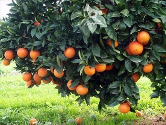 فروش زمین باغ260 متر  در گروه خرید و فروش املاک در مازندران در شیپور-عکس3