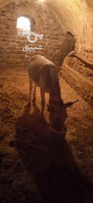 تخفیف هم پایی معامله الاغ نربسیاراروم در گروه خرید و فروش ورزش فرهنگ فراغت در زنجان در شیپور-عکس1