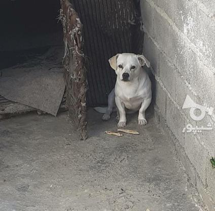 سگ پاکوتاه نژاد اشمیت در گروه خرید و فروش ورزش فرهنگ فراغت در مازندران در شیپور-عکس2