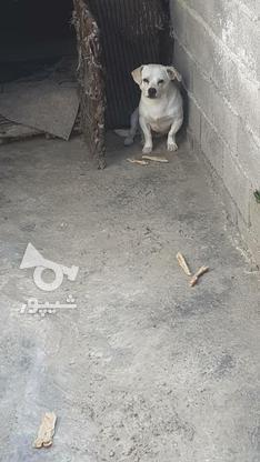 سگ پاکوتاه نژاد اشمیت در گروه خرید و فروش ورزش فرهنگ فراغت در مازندران در شیپور-عکس1