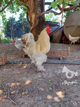 خروس امپراطور برهما و یه عدد مرغ تخم گذار در گروه خرید و فروش ورزش فرهنگ فراغت در مازندران در شیپور-عکس5