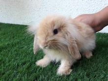 خرگوش لوپ سوپر فلت در شیپور