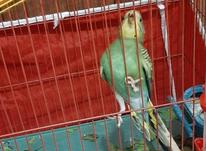 مرغ عشق سالم و سرحال در شیپور-عکس کوچک