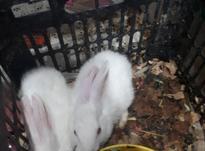 خرگوش دوماهه در شیپور-عکس کوچک
