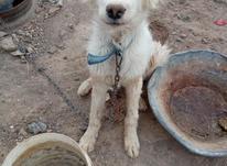 سگ برفی نر در شیپور-عکس کوچک