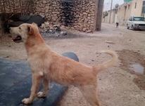 توله سگ نگهبان به شرط هار بودن از توله ای در شیپور-عکس کوچک