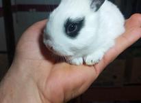 بچه خرگوش های بازی گوش چشم اشکی در شیپور-عکس کوچک