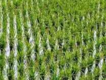 فروش زمین کشاورزی 1000 متر در کیاشهر در شیپور