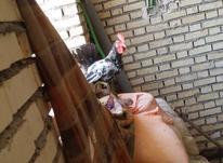 خروس عرب اصل در شیپور-عکس کوچک