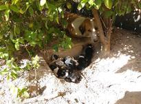 واگذاری سگ فوری در شیپور-عکس کوچک
