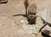 سگ هار یکه شناس دهان پاک در شیپور-عکس کوچک