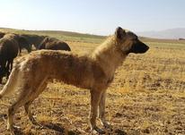 سگ نر 15ماهه سراب در شیپور-عکس کوچک