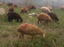 گوسفندان و نر بره قزل افشار و بختیاری در شیپور-عکس کوچک