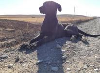 سگ مادع سراب دو ساله در شیپور-عکس کوچک