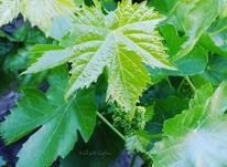 برگ مو تازه تازه باغات سردسیر زنجان در شیپور-عکس کوچک