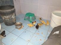 جوجه اردک دوهفته در شیپور-عکس کوچک