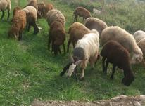 بره های قزل افشار و بختیاری در شیپور-عکس کوچک