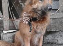 فروش سگ سنگ سری نر در شیپور-عکس کوچک