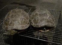 یک جفت لاکپشت دوزیست خیلی زیبا در شیپور-عکس کوچک
