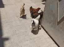 مرغ تخم گزار و خروس مرندی در شیپور-عکس کوچک