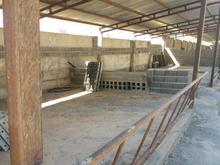 گاوداری صنعتی در شیپور