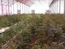رهن واجاره گلخانه رز هیدروپونیک در شیپور