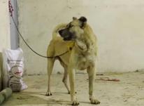 سگ سرابی اصیل در شیپور-عکس کوچک