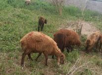 گوسفند و بره قزل افشار همه سایز در شیپور-عکس کوچک