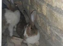 دو عدد خرگوش زیبا در شیپور-عکس کوچک