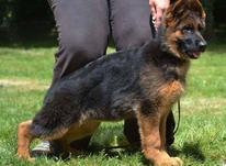 پرورش و تکثیر انواع نژاد سگ اصیل در شیپور-عکس کوچک